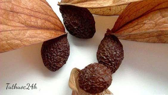 Cách chữa gai cột sống bằng hạt đười ươi an toàn và hiệu quả