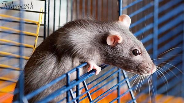 15 mẹo đuổi chuột ra khỏi nhà đơn giản và hiệu quả nhất hiện nay