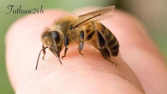 Mẹo xử lý khi bị ong đốt hiệu quả, đúng cách và nhanh chóng
