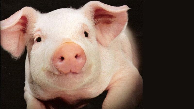 Dự án sản xuất vắc xin tả lợn châu Phi đã được Bộ Khoa học Công nghệ phê duyệt